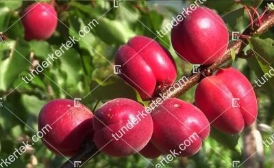 Rubista cseresznyekajszi