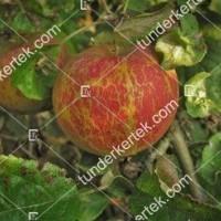 termek840//lisztharmat-840-432202685-1200.jpg / Lisztharmat