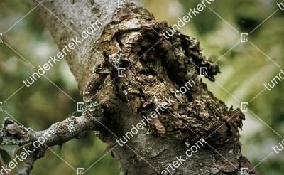 Nektriás ágrákbetegség