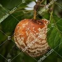 termek842//monilias-gyumolcsrothadas-842-1598153926-1200.jpg / Moníliás gyümölcsrothadás