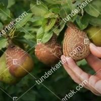 termek842//monilias-gyumolcsrothadas-842-1827201804-1200.jpg / Moníliás gyümölcsrothadás
