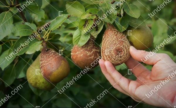 Moníliás gyümölcsrothadás