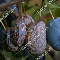 termek842//monilias-gyumolcsrothadas-842-748987650-1200.jpg / Moníliás gyümölcsrothadás