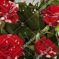 termek855//parade-mveszrozsa-855-1369296569-1200.jpg / Gigi Parade® rózsa
