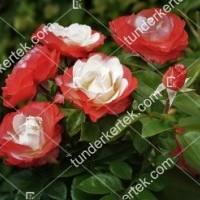 termek856//nosztalgia-rozsa-856-257778367-1200.jpg / Nosztalgia rózsa