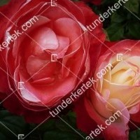 termek856//nosztalgia-rozsa-856-872461619-1200.jpg / Nosztalgia rózsa