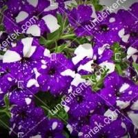 termek858//csillagos-egbolt-petunia-858-32070722-1200.jpg / Csillagos égbolt petúnia