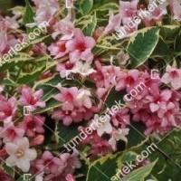 termek872//tarka-levelu-rozsaszin-viragu-rozsalonc-872-1023610695-1200.jpg / Tarkalevelű rózsalonc
