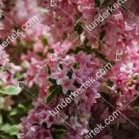 termek872//tarka-levelu-rozsaszin-viragu-rozsalonc-872-142849826-1200.jpg / Tarkalevelű rózsalonc