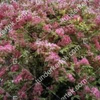 termek872//tarka-levelu-rozsaszin-viragu-rozsalonc-872-787394418-1200.jpg / Tarkalevelű rózsalonc
