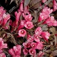 termek873//tango-rozsalonc-873-559385899-1200.jpg / Tango rózsalonc