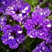 termek876//szz-csillagkep-petunia-876-71897883-1200.jpg / Szűz csillagkép petúnia