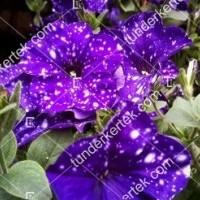termek876/szuz-csillagkep-petunia-876-1565174043-1200.jpg / Szűz csillagkép petúnia