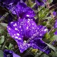 termek876/szuz-csillagkep-petunia-876-718573005-1200.jpg / Szűz csillagkép petúnia