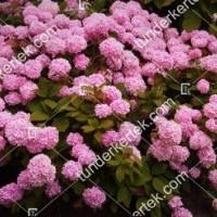 termek878//rozsas-hortenzia-878-1006328311-1200.jpg / Rózsacsokor hortenzia