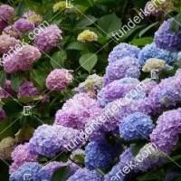 termek878//rozsas-hortenzia-878-1654889357-1200.jpg / Rózsacsokor hortenzia
