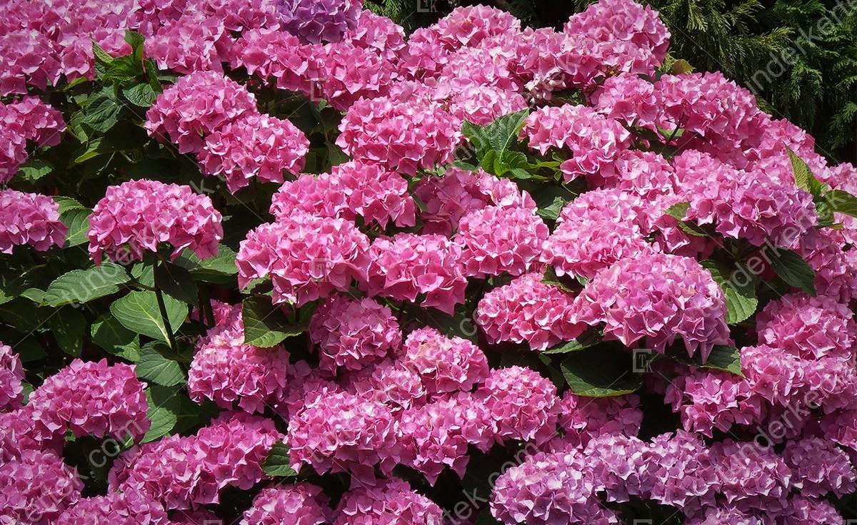 Rózsacsokor hortenzia