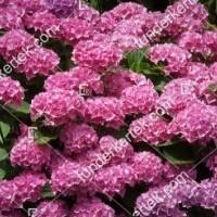 termek878//rozsas-hortenzia-878-658753643-1200.jpg / Rózsacsokor hortenzia