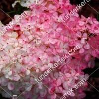 termek886//holabda-hortenzia-886-1544255830-1200.jpg / Eper-vanília hortenzia