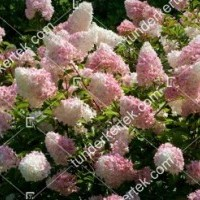 termek886//holabda-hortenzia-886-309752965-1200.jpg / Eper-vanília hortenzia
