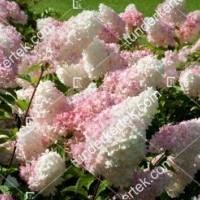 termek886//holabda-hortenzia-886-406430377-1200.jpg / Eper-vanília hortenzia