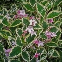 termek889//nana-variegata-rozsalonc-889-239806409-1200.jpg / Tarkalevelű törpe rózsalonc