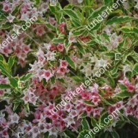 termek889//nana-variegata-rozsalonc-889-666141745-1200.jpg / Tarkalevelű törpe rózsalonc