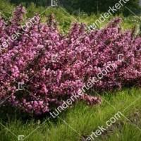 termek890//nana-purpurea-rozsalonc-890-1457897820-1200.jpg / Nana Purpurea rózsalonc