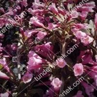 termek890//nana-purpurea-rozsalonc-890-759943205-1200.jpg / Nana Purpurea rózsalonc