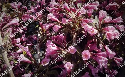 Nana Purpurea rózsalonc