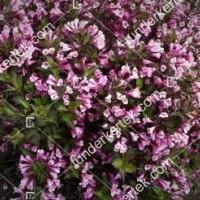 termek890//nana-purpurea-rozsalonc-890-868601820-1200.jpg / Nana Purpurea rózsalonc