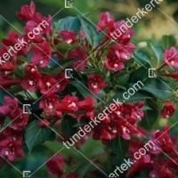 termek891//eva-rathke-rozsalonc-891-258192584-1200.jpg / Eva Rathke rózsalonc