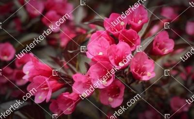 Alexandra® rózsalonc