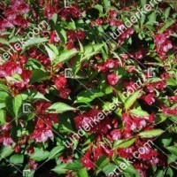 termek894//bristol-ruby-rozsalonc-894-1097618911-1200.jpg / Bristol Ruby rózsalonc