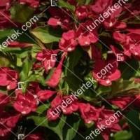 termek894//bristol-ruby-rozsalonc-894-1925289176-1200.jpg / Bristol Ruby rózsalonc