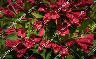 Bristol Ruby rózsalonc