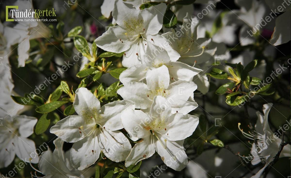 Alba rózsalonc