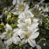 termek895//alba-rozsalonc-895-1571094339-1200.jpg / Alba rózsalonc