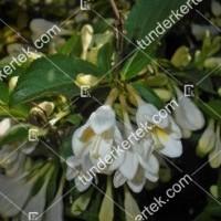 termek895//alba-rozsalonc-895-2113655999-1200.jpg / Alba rózsalonc