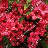 termek896//red-prince-rozsalonc-896-1719229334-1200.jpg / Red Prince rózsalonc