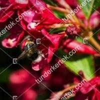 termek896//red-prince-rozsalonc-896-417164820-1200.jpg / Red Prince rózsalonc