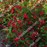 termek896//red-prince-rozsalonc-896-658277162-1200.jpg / Red Prince rózsalonc