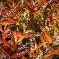termek898//tuzlevel-rozsalonc-898-370349429-1200.jpg / Tűzlevelű rózsalonc