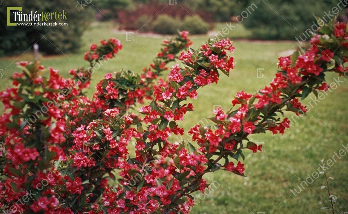 Courtared rózsalonc