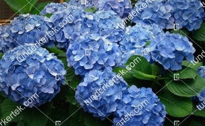 Kékvirágú hortenzia