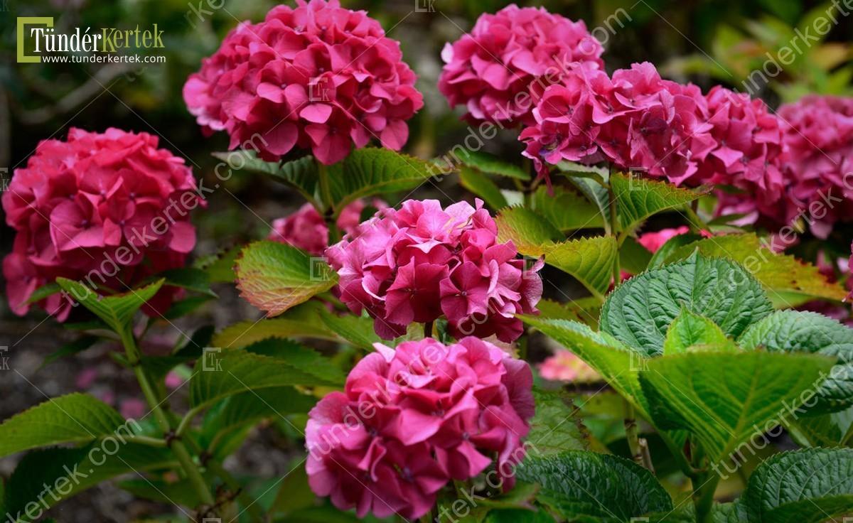 Masja hortenzia