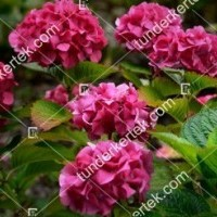 termek908//majsa-hortenzia-908-1474001286-1200.jpg / Majsa hortenzia