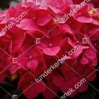 termek908//majsa-hortenzia-908-1528610070-1200.jpg / Majsa hortenzia