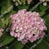 termek909/hortenzia-forever-909-1338116873-1200.jpg / Hortenzia forever