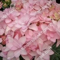 termek909/hortenzia-forever-909-2103092932-1200.jpg / Hortenzia forever